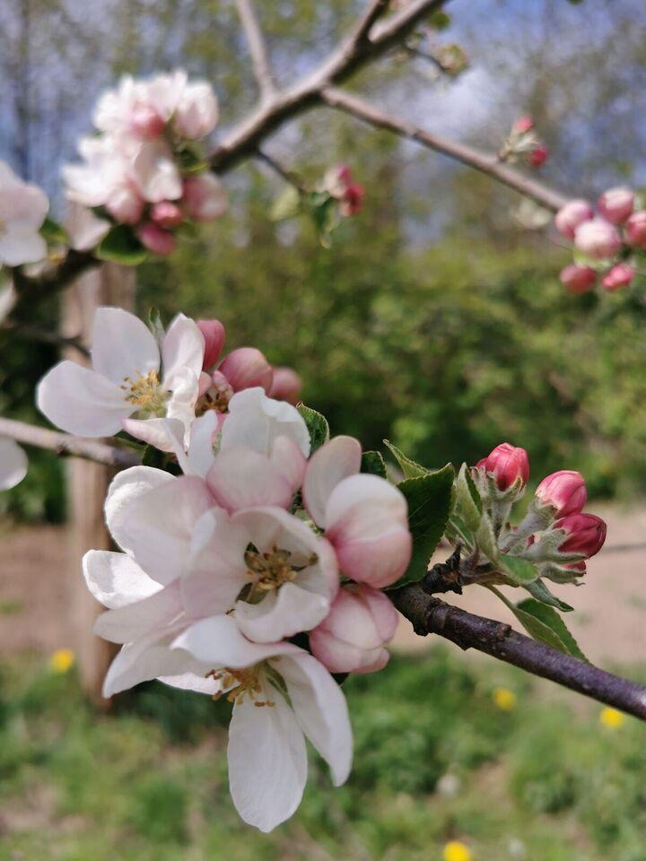 Æbletræer, Fillippa