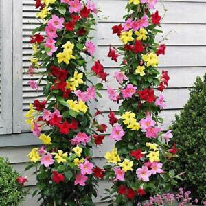 100Pcs-Climbing-Mandevilla-Sanderi-Seeds-5-Colors-Bonsai-Perennial-Potted-Plants