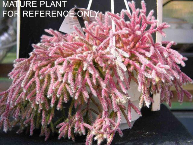 8 CUTTINGS Mouse Mini Rat Tail Cactus Rhipsalis RARE Cactus Succulent Plant