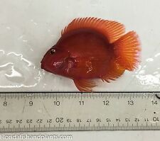 MALE Red King Kong Parrot cichlids 2.0-2.5 inches High Quality Fully Guaranteed