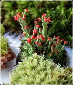 British Soldier Lichen Terrarium Vivarium Bonsai Fairy Garden Free Shipping Ebay