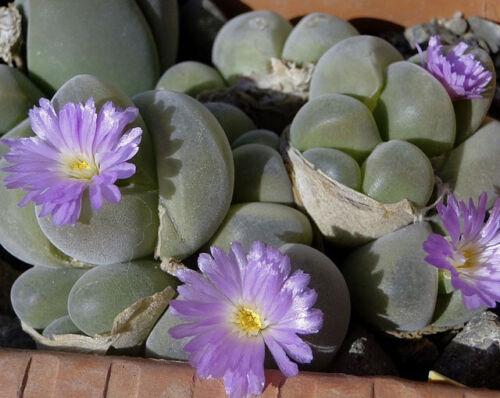 living stones exotic rare mesembs rock semi seed 20 SEEDS Gibbaeum johnstonii