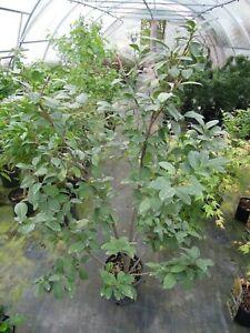 Prunus-laurocerasus-039-Etna-039-140cm-Kirschlorbeer-dichtblaettrige-Sorte