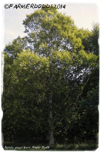 Betula papyrifera /'Paper Birch/' SEEDS Prov: Canada 300