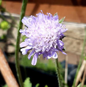 Field-Scabious-matured-2-3-years-in-large-pot-Pick-up-only-Cardiff
