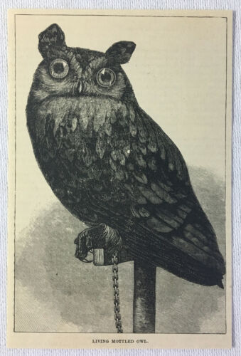 1887 magazine engraving MOTTLED OWL
