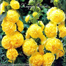 HOLLYHOCK - 50 seeds - CHATERS DOUBLE TRIUMPH YELLOW - Althaea rosea - Flower