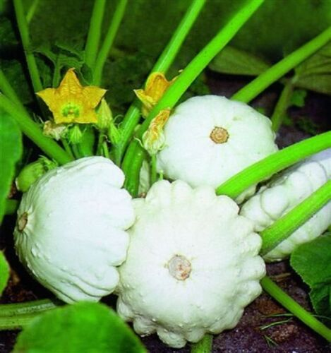 Courge d/'été blanc Patty pan 15 graines-Légumes Saint-Jacques