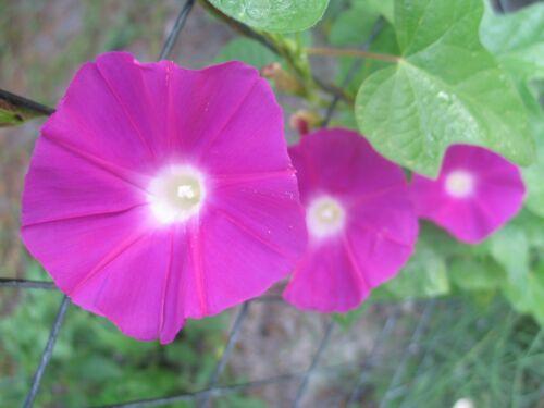 Morning Glory Ipomoea Dark Crimson Rambler 10 seeds