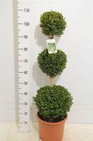 Buchsbaum 3er-kugel , Buxus , Höhe: 100-110 Cm, Bonsai, Formschnitt