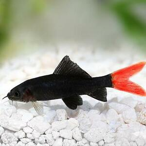 Live tropical aquarium fish for sale red tail black for Red tail shark fish