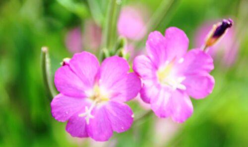 Fireweed zottiges Epilobium hirsutum 300 Seeds medicinal plant wild herbs Pink