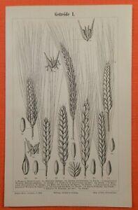 Céréales I-iii Avoine Seigle Blé Orge Maïs Riz Gravures Sur Bois 1895-afficher Le Titre D'origine