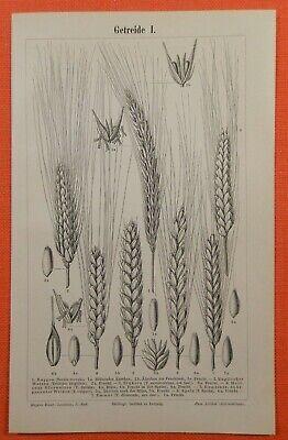 Offizielle Website Getreide I - Iii Hafer Roggen Weizen Gerste Mais Reis Holzstiche 1895 Moderne Techniken