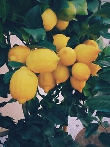 Grafted-Lemon-MEYER-Live-Tree-Big-Plant