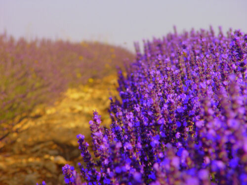250grm Dried Lavender certified pure organic and harvested July 18 in Provence