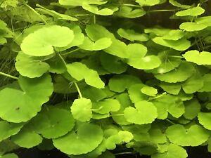 Brazilian-Pennywort-Hydrocotyle-leucocephala-Live-Aquarium-Plant-3-Stems