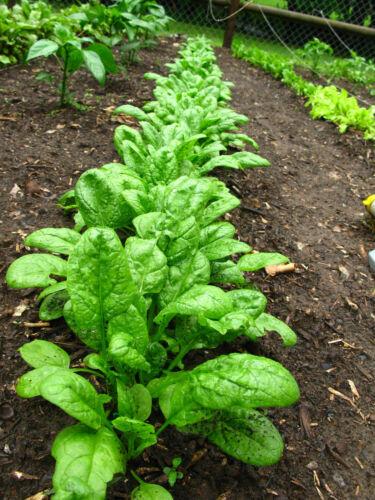 Echter Spinat 1.500 Samen  Salat Heilpflanze und Färberpflanze Spinacia Oleracea