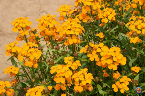 500 to 5000 SEEDS Details about  /Orange Siberian WALLFLOWER Cheiranthus Allionii Seeds