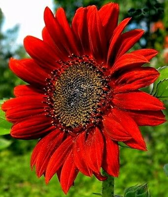 RED SUN SUNFLOWER 35 SEEDS POLLINATORS TALL CUT FLOWERS FREE SHIPPING NON-GMO US