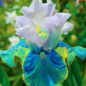 2 Bearded Iris Bulbs Bonsai Perennial Stunning Rare Living Plants Flowering Gift