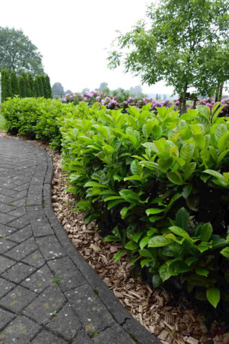 70-100cm für 20m Hecke Heckenpflanzen Kirschlorbeer Novita 60st