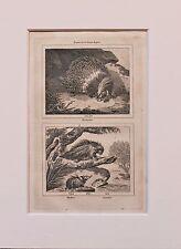 Buffon Antiguo montado impresión c.1800 - grabado-espinosas puercoespín, tendrac