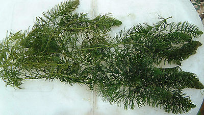 10 Bits of Hornwort Pond & Aquarium Oxygenating Fish Tank Live Water Plant Weed