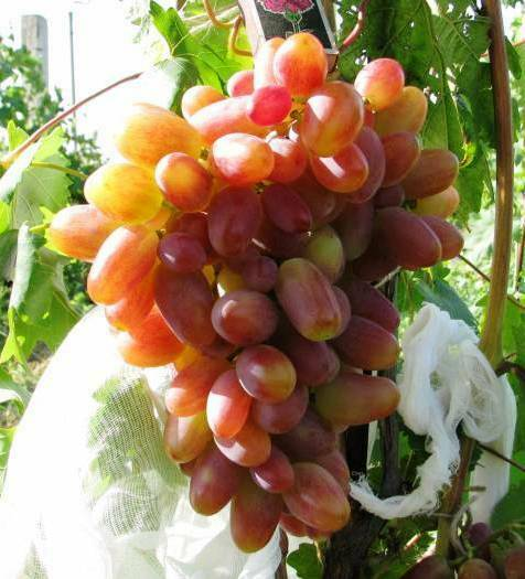 Transfiguratio Seedless grape- 5 fresh cuttings, no roots, rooting or grafting,