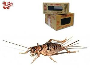 Live Crickets - 500 Count - All Sizes, Reptile, Fish, Gecko, Lizard, Food, Bait
