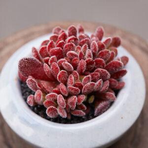8cm-Succulent-live-Plant-Echeveria-Crassula-namaquensis-Home-Garden-Rare-Grow