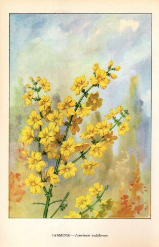 """1926 Vintage GARDEN FLOWER /""""JASMINE/"""" GORGEOUS COLOR Art Print Lithograph"""