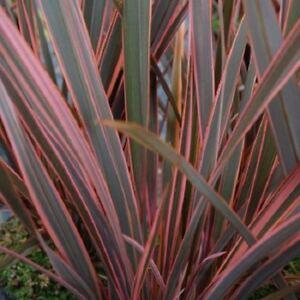 phormium 39 rainbow queen 39 plant in a 19cm pot flax lily. Black Bedroom Furniture Sets. Home Design Ideas