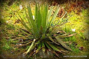 RARE AGAVE FILIFERA SCHIDIGERA thread-leaf succulent aloe plant seed 50 SEEDS
