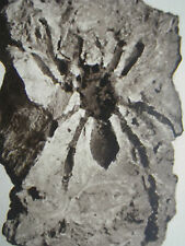 Insect Fossil Frederick Everard Zeuner Palaeobiology 1934 Photo Article 8626
