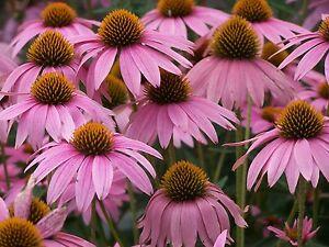 1500 samen blumen echinacea violett echinacea purpurea. Black Bedroom Furniture Sets. Home Design Ideas
