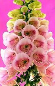 50 pink foxglove digitalis flower seeds biennial ebay image is loading 50 pink foxglove digitalis flower seeds biennial mightylinksfo