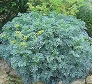 Rue Ruta Graveolens No More Cats Plant In 100mm Pot Ebay