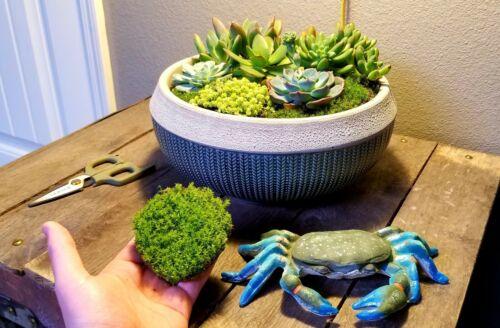 Star Moss Terrarium Live Plant Reptile Habitat. Dart Frog Vivarium Gecko