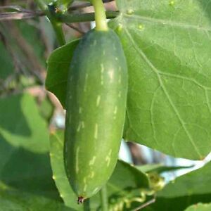 20-CUCAMELON-SEEDS-Mouse-Melon-Melothria-Scabra-Superior-Cucumber-Heat-Tolerant