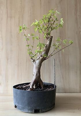 Green Japanese Trident Maple Big Thick Trunk Movement Bonsai Tree Nebari Negari Ebay