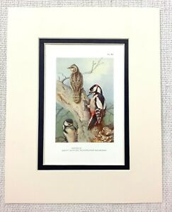 1929 Antico Uccello Stampa Eccezionale a Pois Picchio Thorburn's Ornitologia