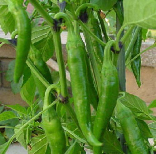 10 Samen Ungarische scharfe grüne Paprika samenfest von unserer Farm