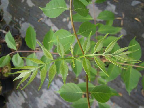 Bienenbaum 60-70cm Tausendblütenstrauch Tetradium daniellii Euodia hupehensis