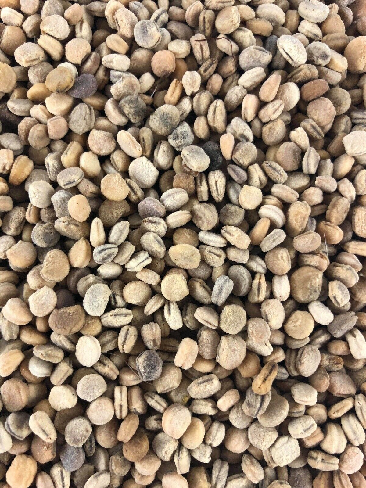 250+ American Ginseng Seeds Stratified -2020 Planting Now- Grow Your Own Roots