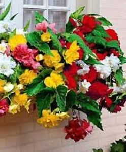 15-Begonia-Seeds-Trailing-Cascade-Mix-Pelleted-Seeds