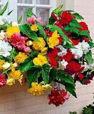 15 Seeds Begonia Trailing Cascade Mix Pelleted Seeds