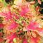Japanese-Bonsai-Coleus-Foliage-plants-100-Pcs-Graines-Couleur-Rainbow-Dragon-Fleurs miniature 1