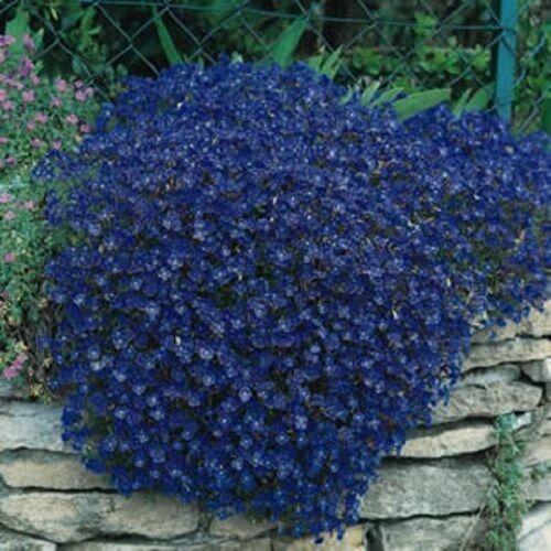 50+ AUBRIETA BRIGHT BLUE ROCK CRESS FLOWER SEEDS / PERENNIAL /  DEER RESISTANT
