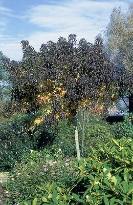 Liquidambar styraciflua Parasol in 7cm pot potential bonsai